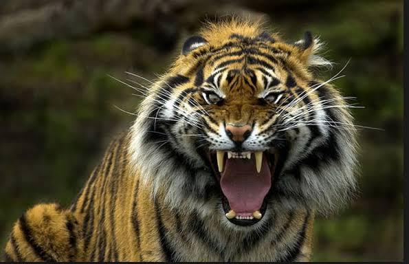 Misterius!!! Harimau Cindaku Warisan Leluhur Kerinci