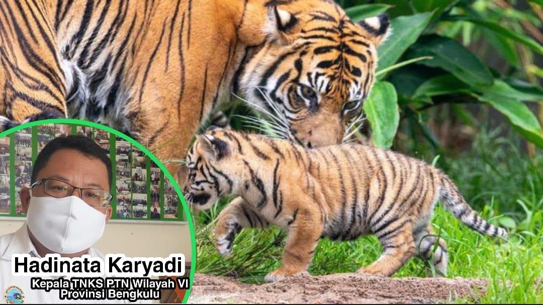 2 Ekor Harimau Sumatera, Jejaki Desa Sungai Lisai